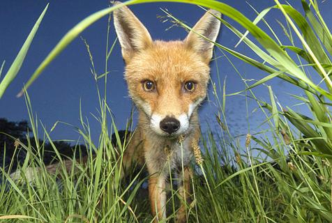 英少年拍狐狸夜间捕食 近距拍大头照