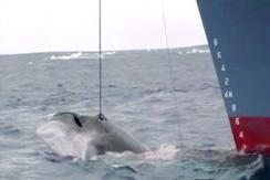 日本9年前猎杀鲸鱼画面曝光 引民众愤怒