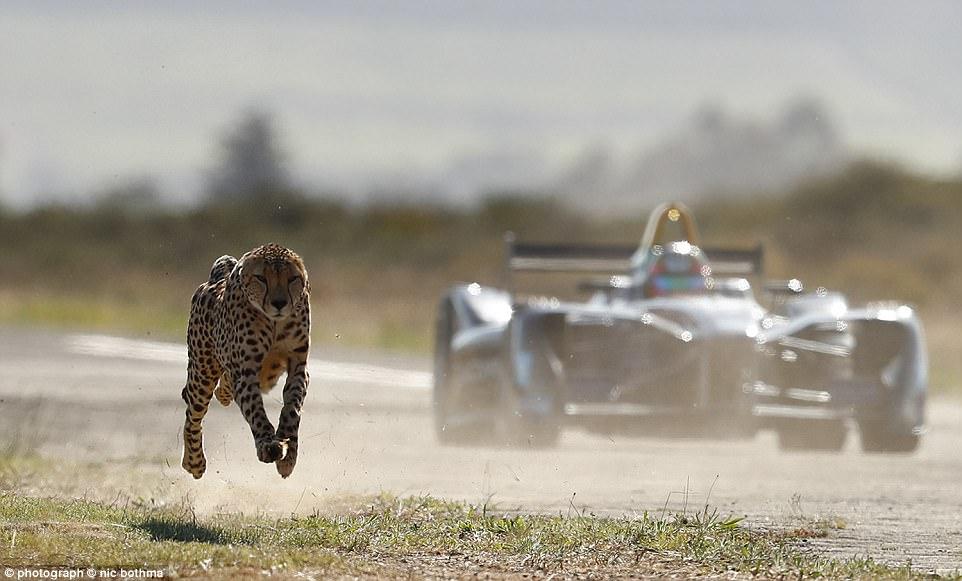 方程式赛车和猎豹比赛速度 你猜谁更快?
