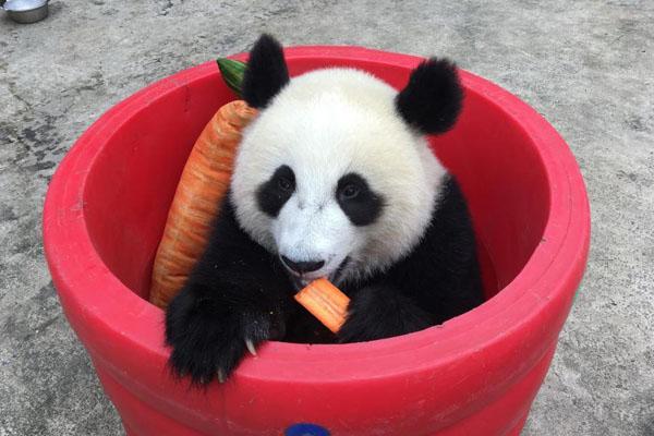 快到桶里来!大熊猫桶中啃胡萝卜吃相可爱