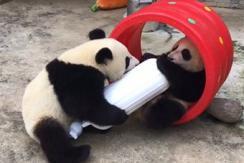 """大熊猫秒变大力士 上演""""糖果""""争夺战"""