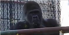 动物园长寿大猩猩去世享年44岁 相当于人类90岁