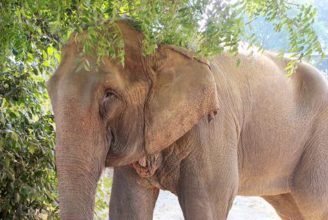 印解救被囚禁40年大象 双目近乎失明
