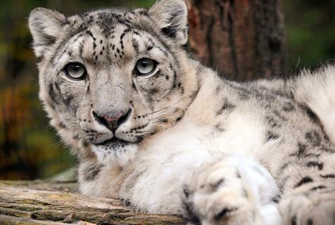 捷克动物园雪豹躺地休息 镜头感满满
