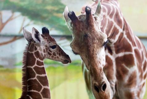 俄罗斯动物园新生长颈鹿与妈妈亲昵