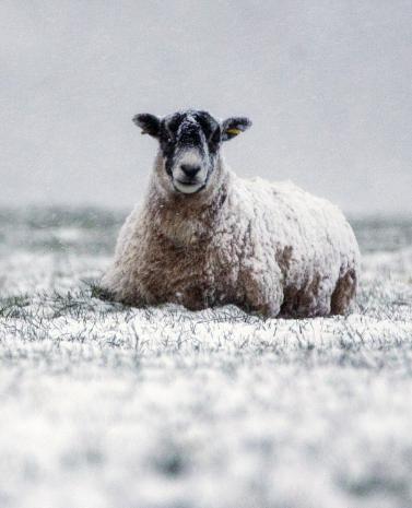寒冬已至 英国约克郡大雪纷飞