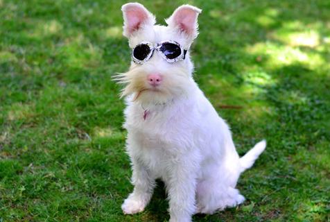 澳狗狗患白化病似公主 戴墨镜防晒