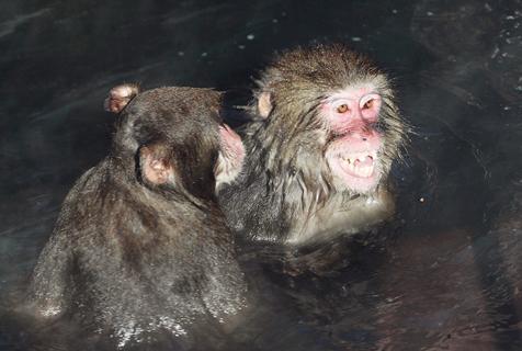日本雪猴爱宝乐园泡温泉 面色红润