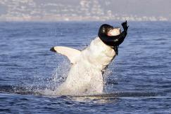 奋力一搏!海豹被捕后勇敢反咬大白鲨