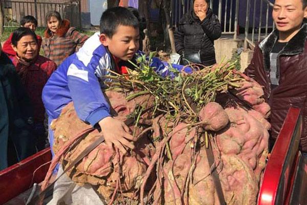 四川老农种出238斤
