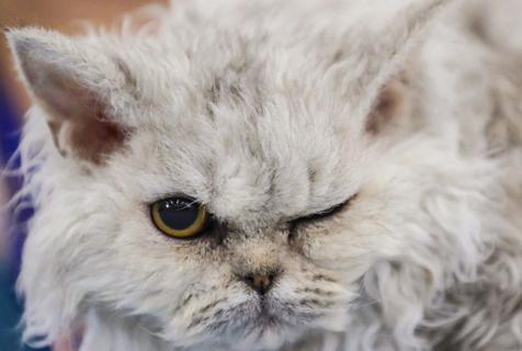 俄罗斯国际猫展 喵星人争相卖萌