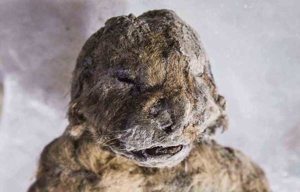 科学家发现冰河时期穴狮尸体 距今5万年保存完好