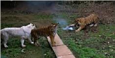 无人机拍摄动物园 被老虎一掌击落