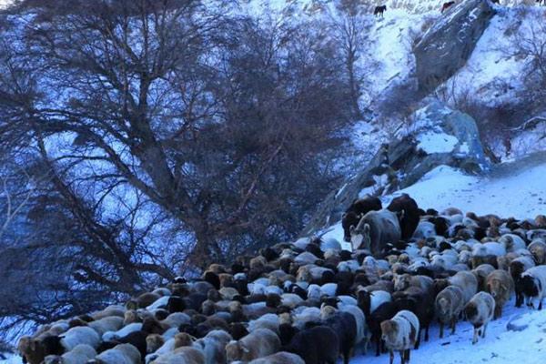 新疆伊犁河谷牧民转场进天山越冬