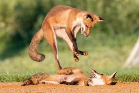 狐狸姐弟欢乐日常 相爱相杀超有爱