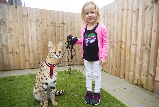 英国家庭领养薮猫当宠物 不顾危险一起玩耍