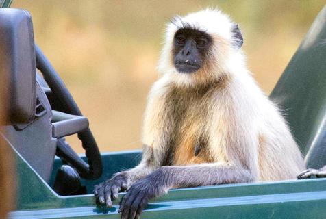 印度灰叶猴坐敞篷车 贵妇姿态看风景