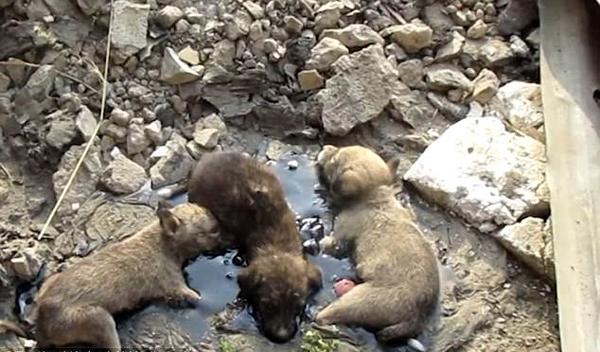 印三只小狗被焦油黏住濒死 获救后与母亲团聚