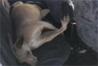 袋鼠撞坏车玻璃葬身后座
