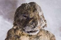 5万年前穴狮尸体被发现