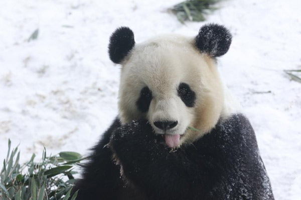 """大熊猫""""思嘉""""雪中撒欢打滚儿萌态百出"""