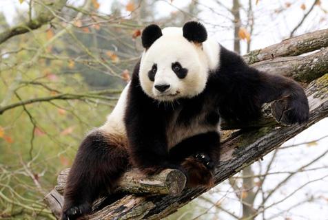 """旅法大熊猫""""圆仔""""在动物园登高博眼球"""