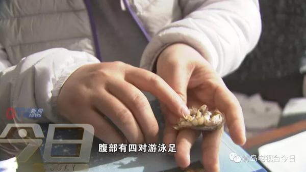 """青岛市民组团挖""""海知了"""" 专家:再吃又要灭绝了"""