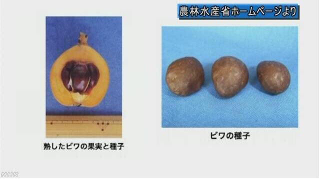 """枇杷核含有害物质 日本农水省提醒""""当心中毒"""""""