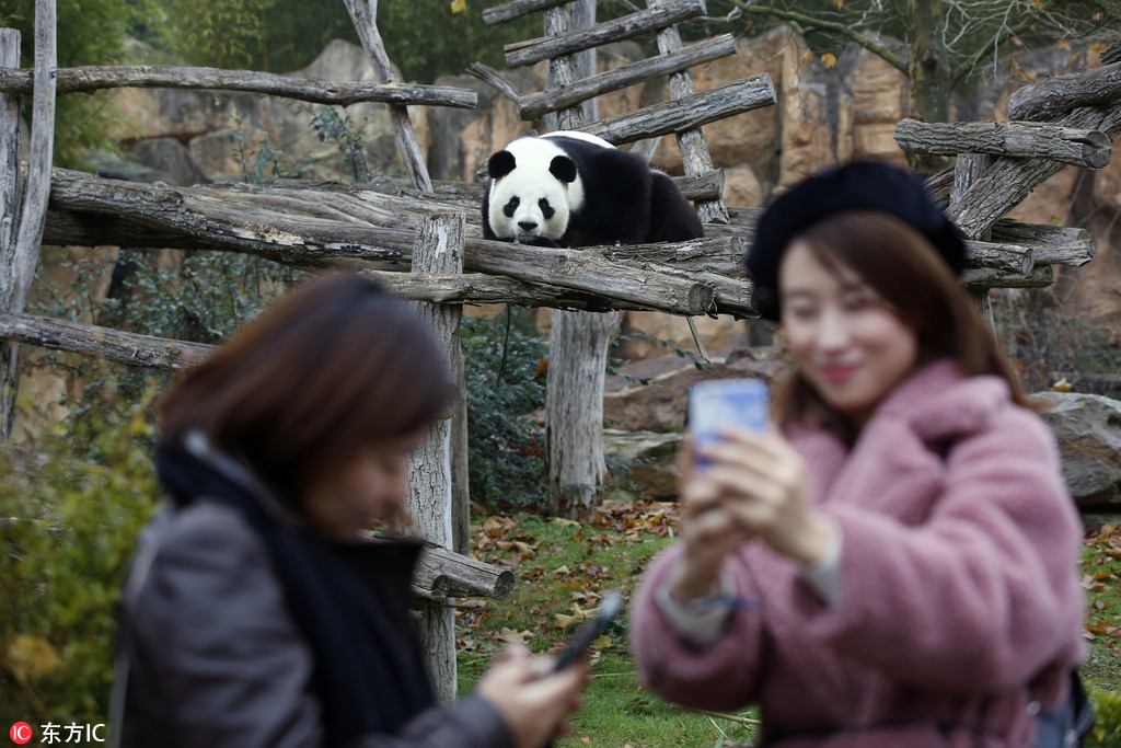 """旅法大熊猫""""圆仔""""在动物园内玩耍 登高""""博眼球"""""""