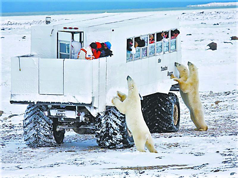 """海洋上浮冰初起 北极熊北上返乡:初冬到加拿大小镇看""""熊出没"""""""
