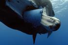 BBC拍到抹香鲸吞食塑料桶
