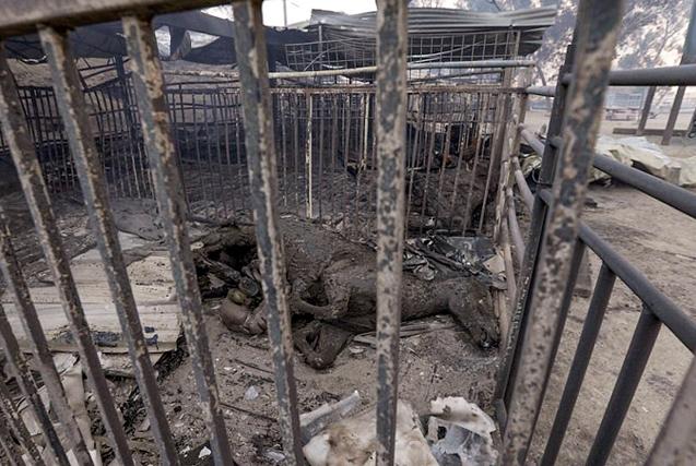美加州野火肆虐牧民撤离 马匹滞留被烧死