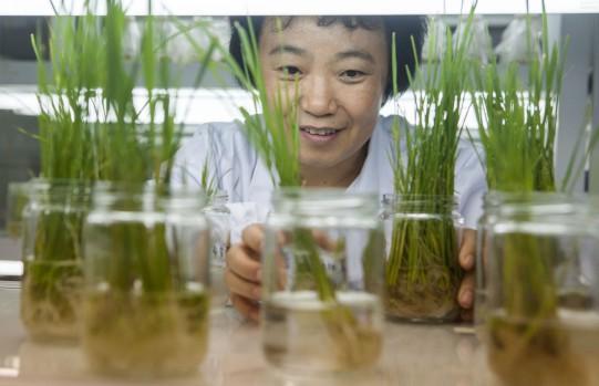 这项中国独有技术 不用转基因就让稻田杂草不生
