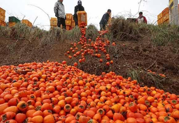 韩国柿子滞销 农民忍痛倒进山沟
