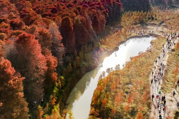 临海:冬日红杉林 神似喀纳斯