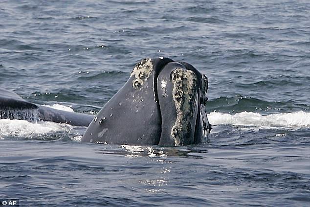 北大西洋露脊鲸注定要灭绝 可哺育雌性仅剩100头