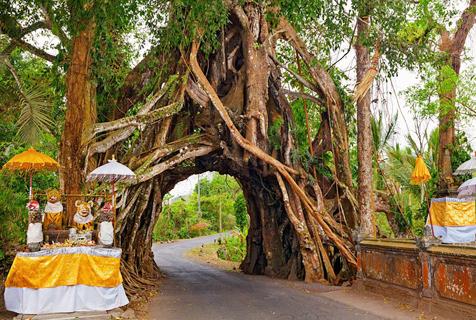 全球最奇特树木:树洞可容两车同时通过