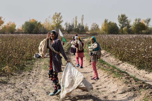 乌兹别克斯坦棉花收获季 女工欢声笑语采棉乐
