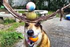 加狗狗头顶物品秀平衡术