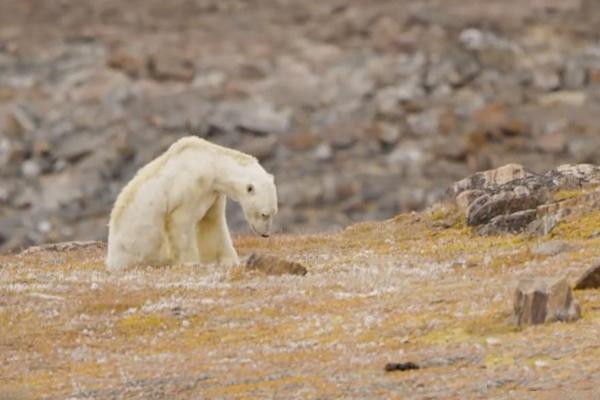 北极熊骨瘦如柴 垃圾桶翻食物画面看哭网友