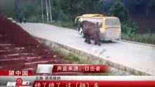 云南西双版纳:野象公路上袭击客车 乘客有惊无险