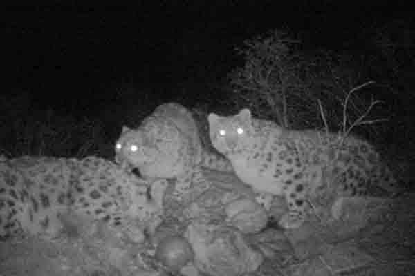 红外相机记录罕见一幕 雪豹幼崽与母亲分食牦牛
