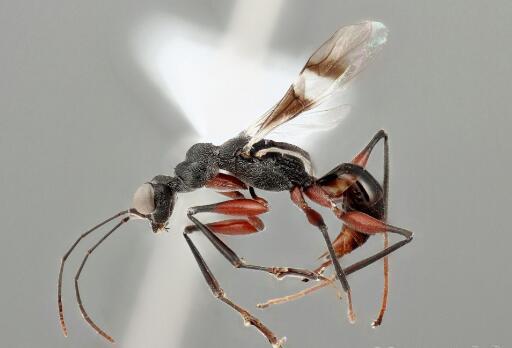 日本三重县发现继中国云南省后全球第二只稀有螯蜂