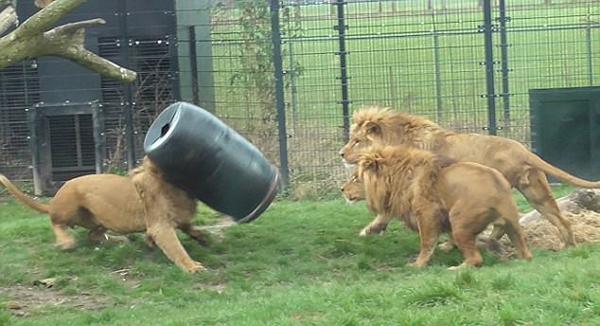 荷兰雄狮为觅食将头卡在大桶内 惊慌失措囧态百出