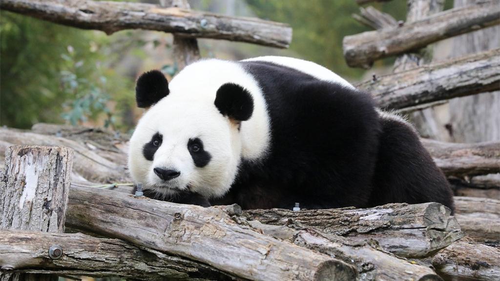 """旅法大熊猫""""圆仔""""动物园内玩耍"""