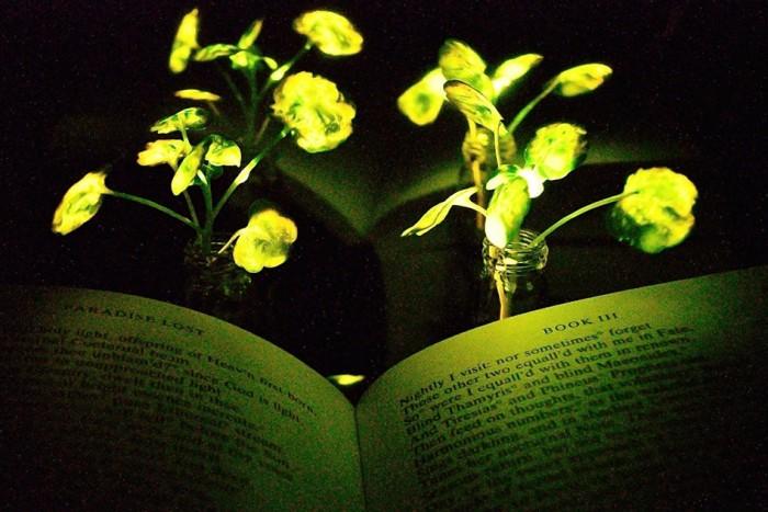 受萤火虫启发 麻省理工学院科学家培育出发光植物