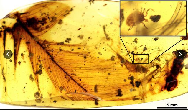 首次发现!英团队琥珀中找到一亿年前寄生恐龙的吸血蜱