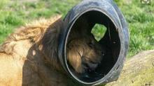 尴尬!狮子脑袋被卡圆桶中 茫然失措囧态百出