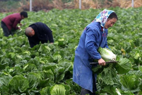 太湖白菜喜丰收 菜农们冒雨收割