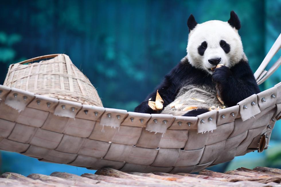 大熊猫沈阳过冬:半躺吊床上吃空运笋